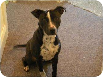American Pit Bull Terrier/Pointer Mix Dog for adoption in Carey, Ohio - Fenris 1 WEEK LEFT urgent