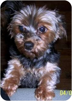 Yorkie, Yorkshire Terrier Dog for adoption in Washburn, Missouri - Treasure