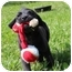 Photo 2 - Labrador Retriever/Boxer Mix Puppy for adoption in Spring Valley, New York - Lizard