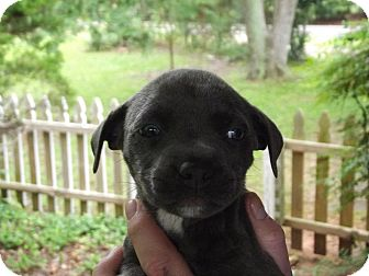 American Pit Bull Terrier Mix Puppy for adoption in Carrollton, Georgia - Johnse