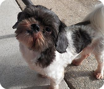 Shih Tzu/Poodle (Miniature) Mix Dog for adoption in Mary Esther, Florida - Buster