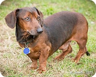 Dachshund Dog for adoption in San Jose, California - Garrett