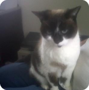 Snowshoe Cat for adoption in Fairborn, Ohio - Nala