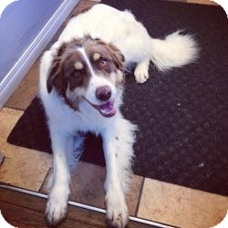 Australian Shepherd/Border Collie Mix Dog for adoption in Saskatoon, Saskatchewan - Ace