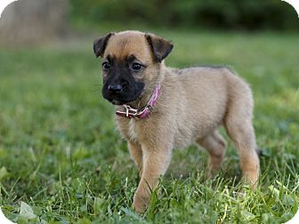 Boxer/Shepherd (Unknown Type) Mix Puppy for adoption in Ile-Perrot, Quebec - Libra