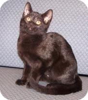Domestic Shorthair Kitten for adoption in Jackson, Michigan - Suzanne