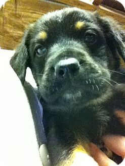 Hound (Unknown Type) Mix Puppy for adoption in Waldorf, Maryland - Boe