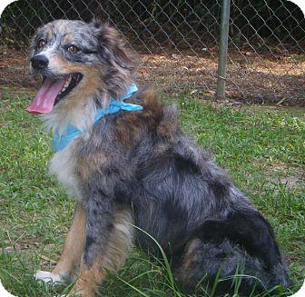 Australian Shepherd Mix Dog for adoption in Covington, Louisiana - Misty May