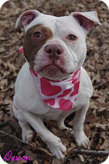 Pit Bull Terrier Mix Dog for adoption in Poland, Ohio - DEVON // 4 (ADOPTED)