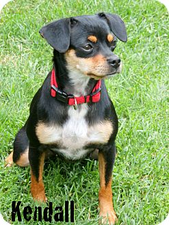 Chihuahua Mix Dog for adoption in Columbia Heights, Minnesota - Kendall