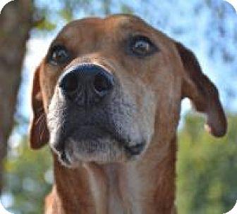 Labrador Retriever/Australian Cattle Dog Mix Dog for adoption in Jacksonville, Arkansas - Gage