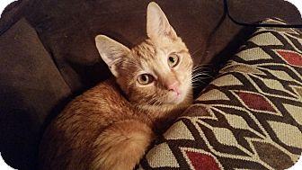Domestic Shorthair Kitten for adoption in Cary, North Carolina - Ed