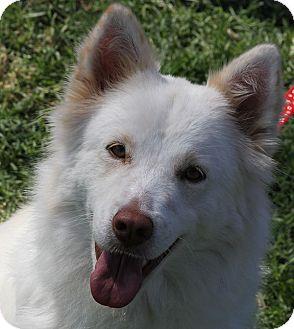 Australian Shepherd/Husky Mix Dog for adoption in San Diego, California - Hope