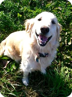 Golden Retriever Dog for adoption in Knoxville, Tennessee - Hilly