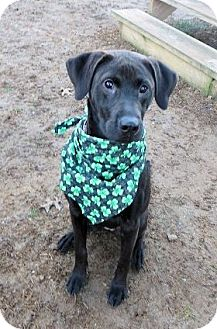 Labrador Retriever Mix Dog for adoption in kennebunkport, Maine - Kodiak - in Maine