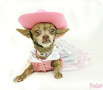 Chihuahua/Miniature Pinscher Mix Dog for adoption in Phoenix, Arizona - Pinkie