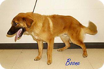 Shepherd (Unknown Type) Mix Dog for adoption in Lexington, North Carolina - BOONE