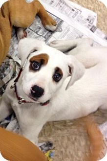 Boxer/Black Mouth Cur Mix Puppy for adoption in House Springs, Missouri - O' Dooley