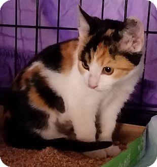 Calico Kitten for adoption in Rosamond, California - Athena