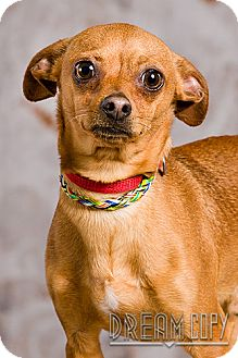 Chihuahua/Terrier (Unknown Type, Small) Mix Dog for adoption in Owensboro, Kentucky - Hercules - DRD Graduate