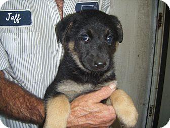 German Shepherd Dog Puppy for adoption in Mansfield, Texas - Bearletta/Mocha