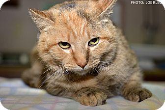 Domestic Shorthair Cat for adoption in Medina, Ohio - Buffy