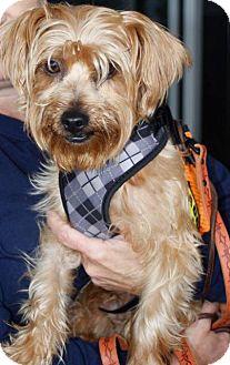 Yorkie, Yorkshire Terrier Dog for adoption in Freeport, New York - Carmelo