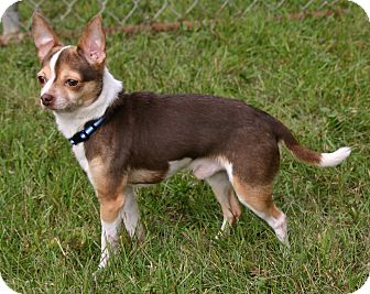 Chihuahua Mix Dog for adoption in Waldorf, Maryland - Chico ADOPTION PENDING