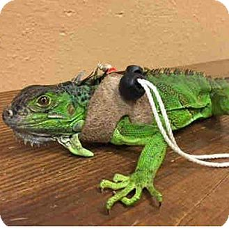 Iguana for adoption in College Station, Texas - YipYip
