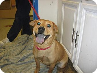 Shar Pei/Labrador Retriever Mix Dog for adoption in Kankakee, Illinois - Mulan