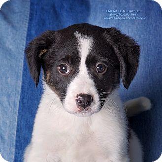 Australian Shepherd/Beagle Mix Puppy for adoption in Cincinnati, Ohio - Aria