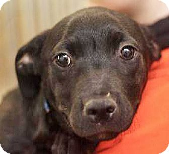Labrador Retriever/Hound (Unknown Type) Mix Puppy for adoption in Spokane, Washington - Oliver