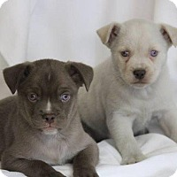 Boston Terrier Mix Dog for adoption in Danbury, Connecticut - Levi