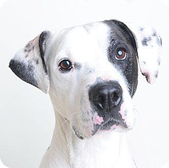 Mixed Breed (Medium)/American Bulldog Mix Dog for adoption in Wilmington, Delaware - Zane