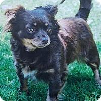 Adopt A Pet :: Angie - Las Vegas, NV