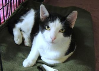 Domestic Shorthair/Domestic Shorthair Mix Cat for adoption in Westville, Indiana - Parmesan