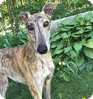 Greyhound Dog for adoption in Swanzey, New Hampshire - Arya