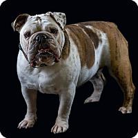 Adopt A Pet :: Bella Rose - Odessa, FL