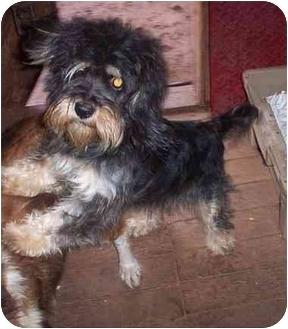 Lhasa Apso Dog for adoption in clinton, Oklahoma - Sassy