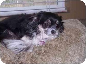Chihuahua Dog for adoption in San Diego, California - Gracie