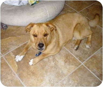 Labrador Retriever/Terrier (Unknown Type, Medium) Mix Dog for adoption in Fair Oaks Ranch, Texas - Daisy