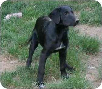 Labrador Retriever/Collie Mix Puppy for adoption in West Milford, New Jersey - Molly and her siblings