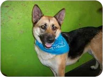German Shepherd Dog/Shepherd (Unknown Type) Mix Dog for adoption in Bellflower, California - Maple