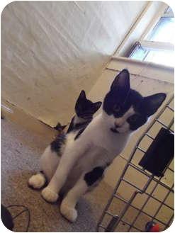 Domestic Shorthair Kitten for adoption in Queensbury, New York - Sadie