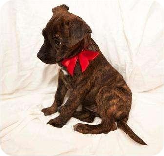 Terrier (Unknown Type, Medium) Mix Puppy for adoption in Miami, Florida - Pistol-Patty