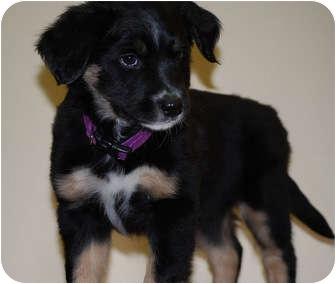 Australian Shepherd/Shepherd (Unknown Type) Mix Puppy for adoption in Broomfield, Colorado - Dancer