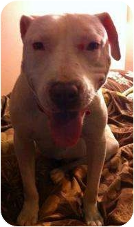 American Pit Bull Terrier Mix Dog for adoption in Hillsborough, New Jersey - Luna