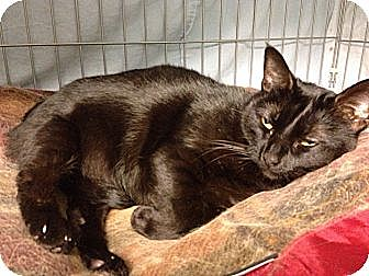 Domestic Shorthair Cat for adoption in Kerrville, Texas - Kitzer