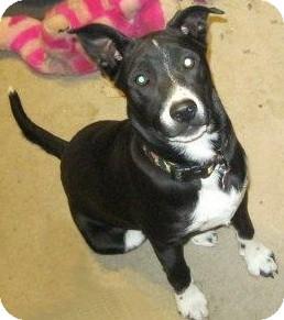 Border Collie/Australian Cattle Dog Mix Puppy for adoption in Flagstaff, Arizona - Aqua