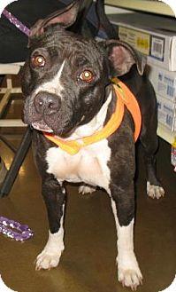 Staffordshire Bull Terrier Mix Dog for adoption in Tucson, Arizona - Annie